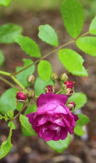 Rosa 'Perennial Blue' !!!  Img_5133