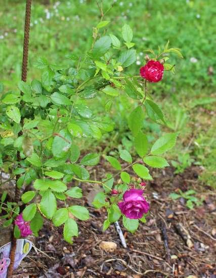 Rosa 'Perennial Blue' !!!  Img_5134