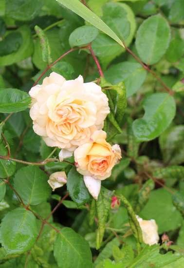 Rosa 'Buff Beauty' !!! - Page 7 Img_5139