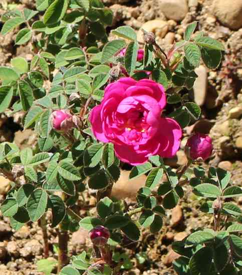 Rosa Pompon de Bourgogne !!! - Page 3 Img_5217