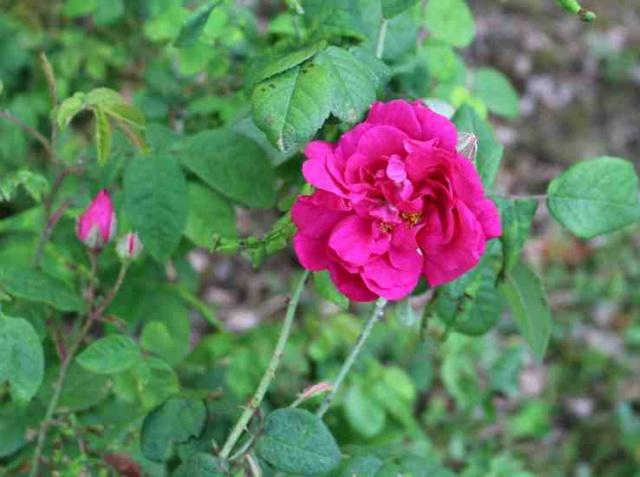 Rose Provins de chez Poron ! - Page 2 Img_5219