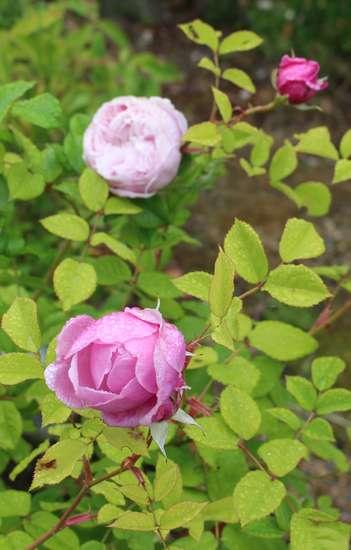 Rosa Spirit Of Freedom Img_5316