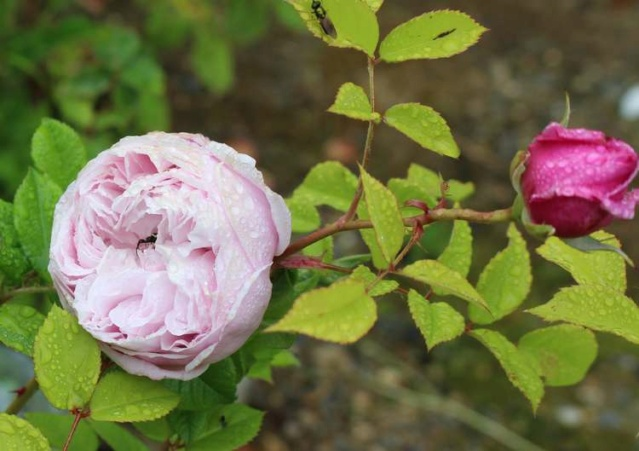 Rosa Spirit Of Freedom Img_5317