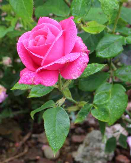 Rosa 'Caprice de Meilland' Img_5323