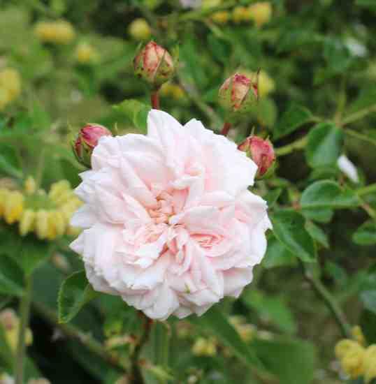 Rosa 'Probuzeni' !!! Img_5329