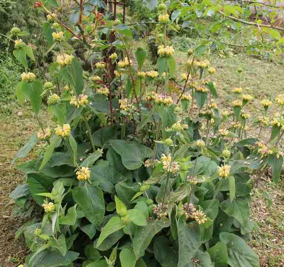 Phlomis russeliana !!! Img_5330