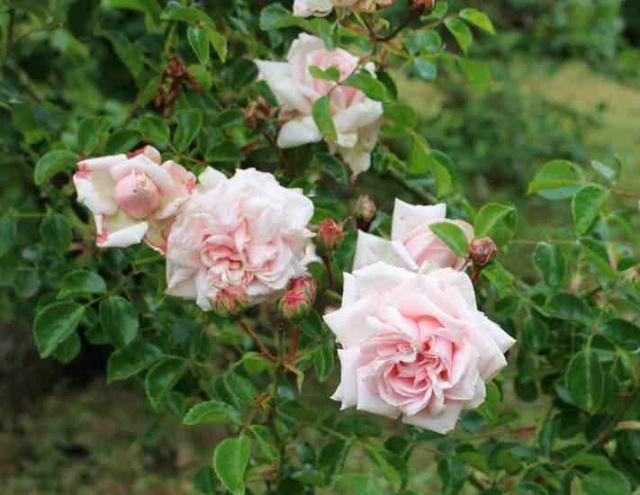 Rosa 'Probuzeni' !!! Img_5331