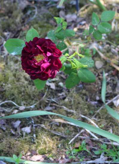 Rosa Tuscany Superb Img_5416