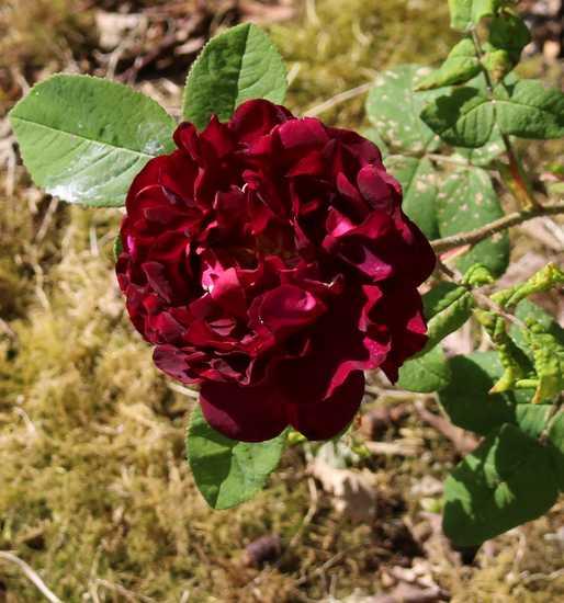Rosa Tuscany Superb Img_5417