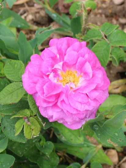Rosa 'Jenny Duval' Img_5515