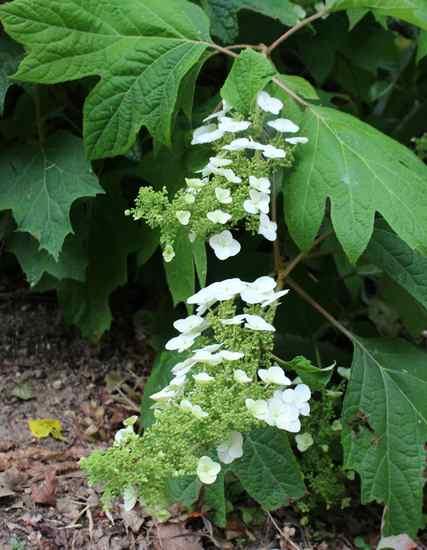 Hydrangea quercifolia !!! Img_5518