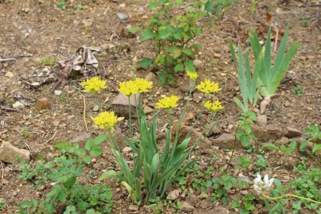 Allium moly Img_5523