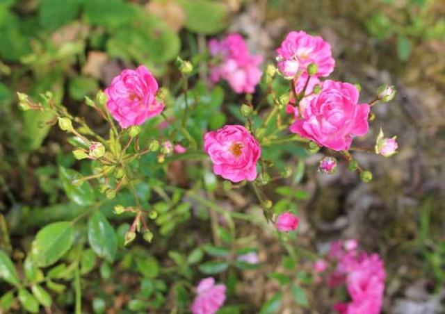 Rosa Fairy Rood !!! - Page 2 Img_5634