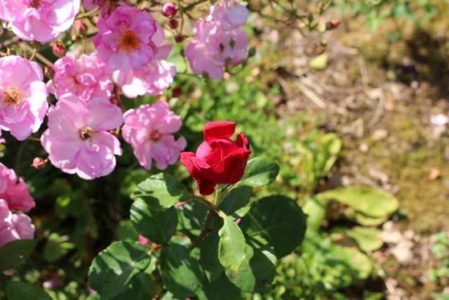 Rosa ' Poema'  ! Img_5715