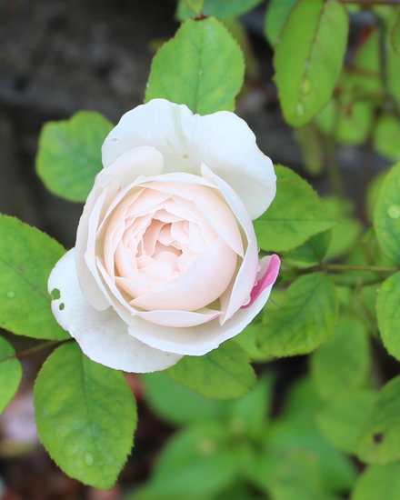 Rosa 'Winchester Cathedral' !!! - Page 2 Img_6115