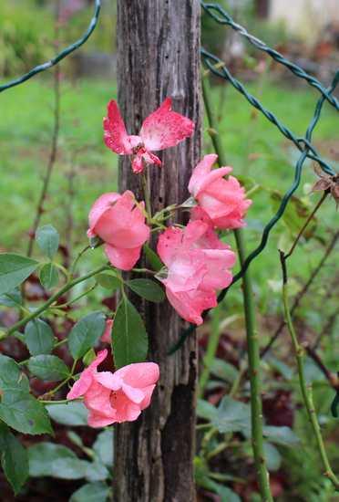 Rosa 'Pink Blanket' Img_6116