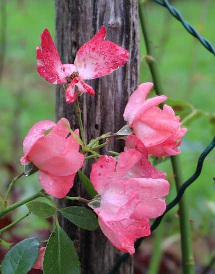 Rosa 'Pink Blanket' Img_6118
