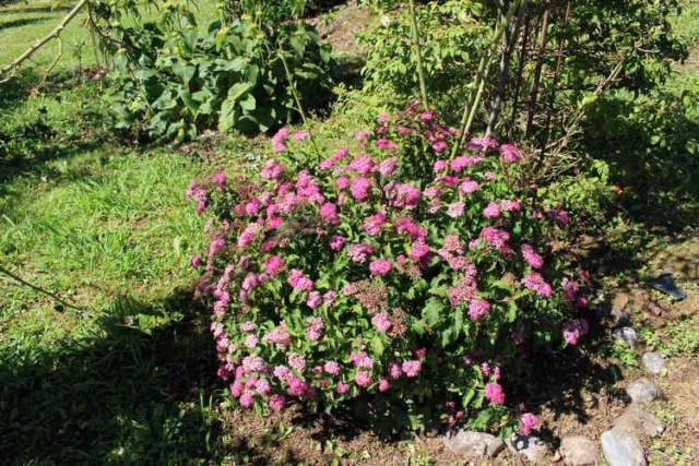 spirea japonica crispa Img_6132