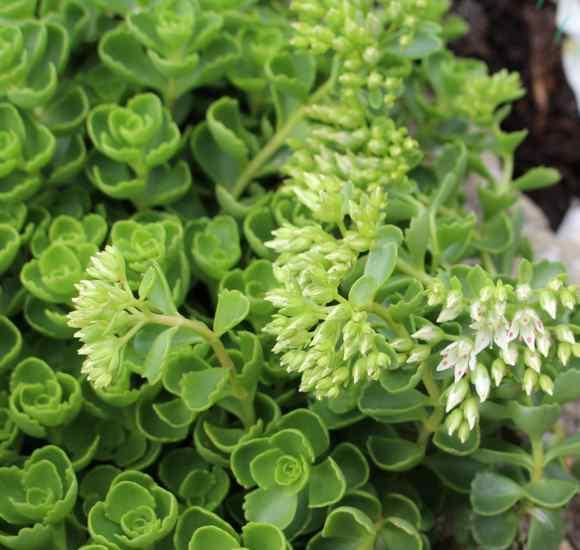 Plante grasse, succulente !!! Img_6224
