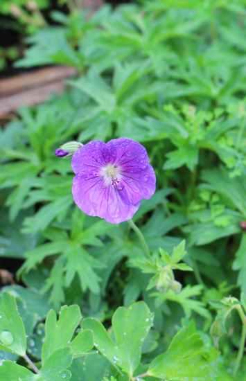 geranium vivace - Page 10 Img_6317