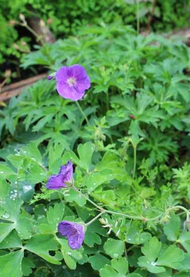 geranium vivace - Page 10 Img_6318