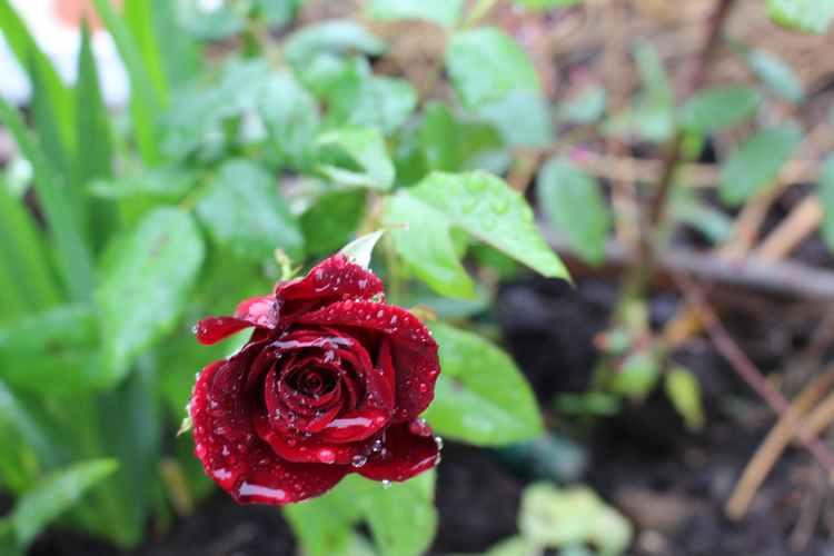 Rosa 'Europeana'  Img_6321