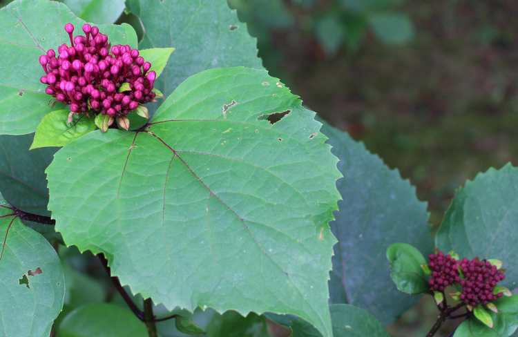 Clerodendron bungei !!! - Page 2 Img_6338