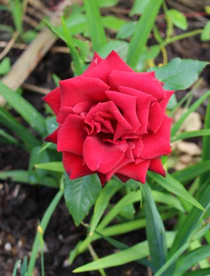 Rosa 'Europeana'  Img_6510