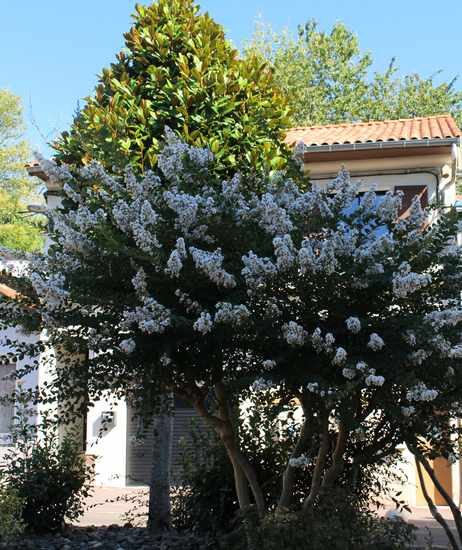 """Lilas des Indes """"LAGERSTROEMIA"""" Img_6819"""