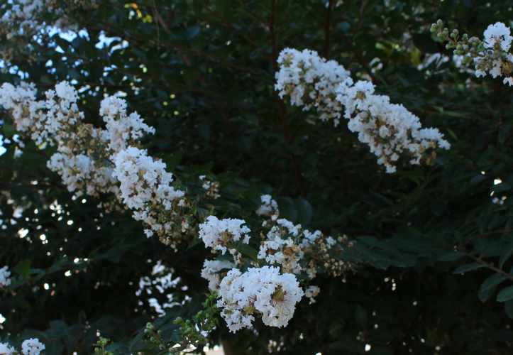 """Lilas des Indes """"LAGERSTROEMIA"""" Img_6821"""