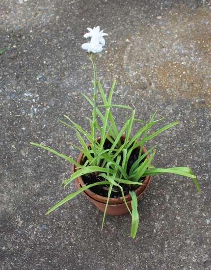 Polyanthes tuberosa !!! Img_6929