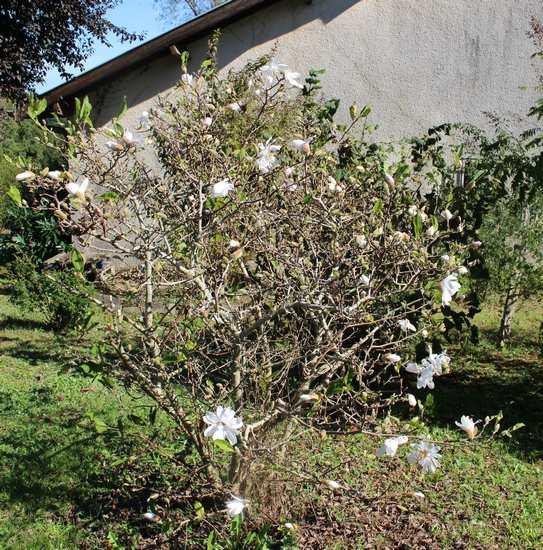 Magnolia stellata !!! - Page 2 Img_7015