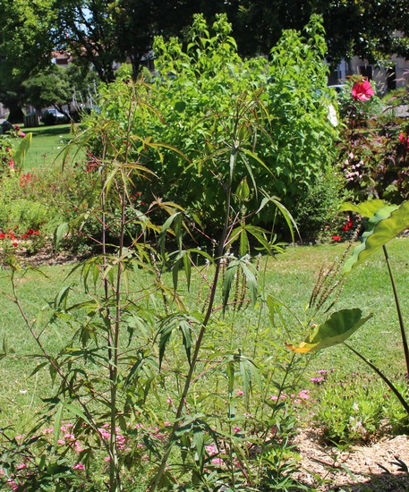 Une vivace.........Hibiscus coccineus !!! Jardin14