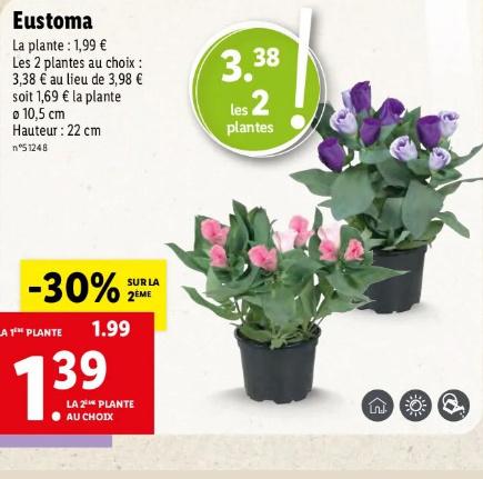 Eustoma russellianum  Lill_b10