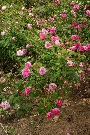 Rosa 'Le rire niais' !!! Lrn1_b10