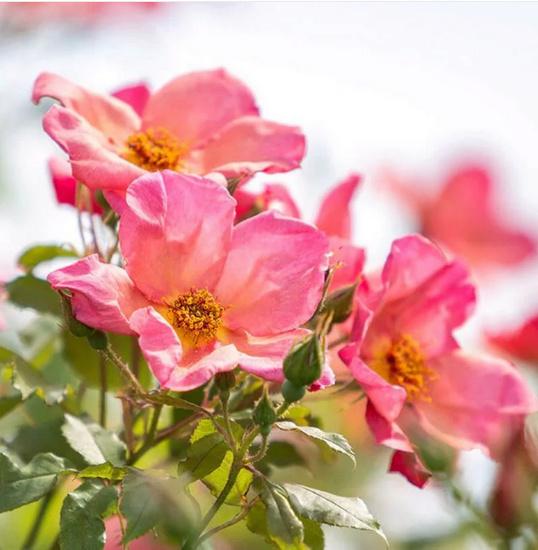 Rosa 'Morning Mist' ! Mv1_bm11
