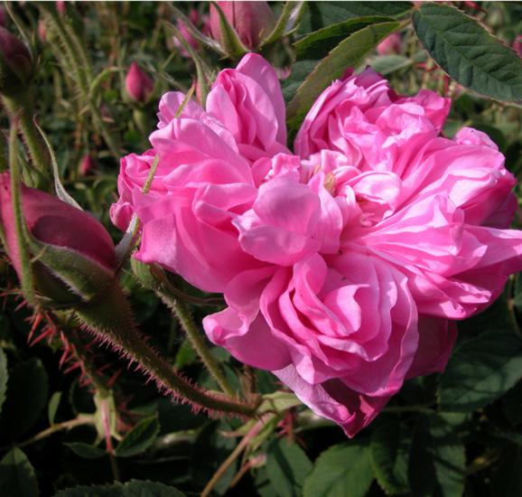 Rosa 'Omar Khayyam' Omar_k10