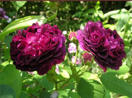 Rosa 'Ombrée parfaite' Ombrzo10