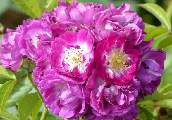 Rosa 'Perennial Blue' !!!  Pb1_bm10