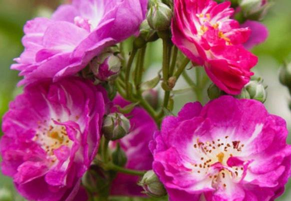 Rosa 'Perennial Blue' !!!  Pb2_bm10