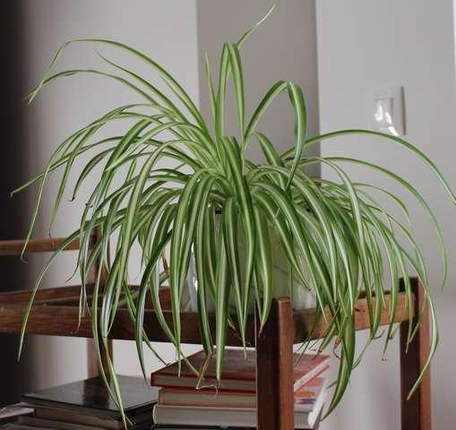 entretien d'un chlorophytum Plante10