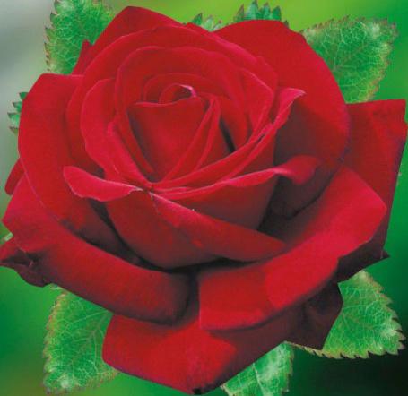 Rosa ' Poema'  ! Rosa_p10