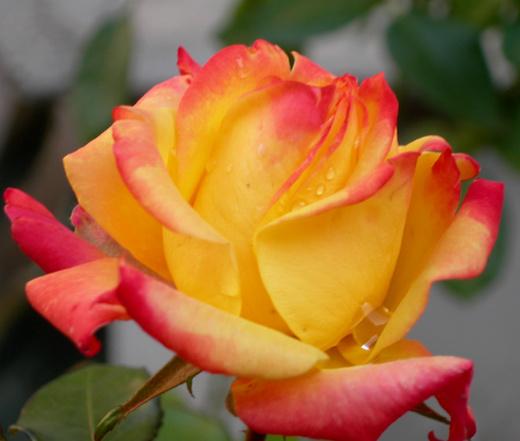 Rosa 'Picadilly' Rosa_p11
