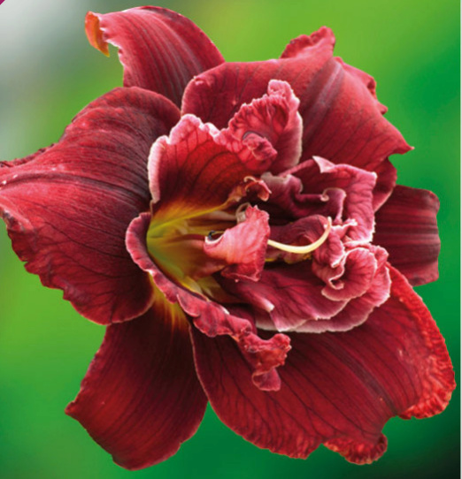Hemerocallis Double red royal Sans_t23