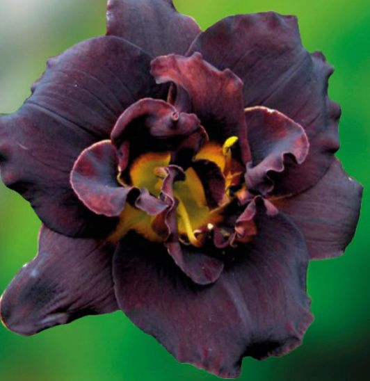 Hemerocallis Voodoo Dancer Sans_t24
