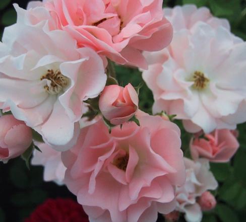 Rosa 'Souvenir d'Adolphe Turc' ! Souven10