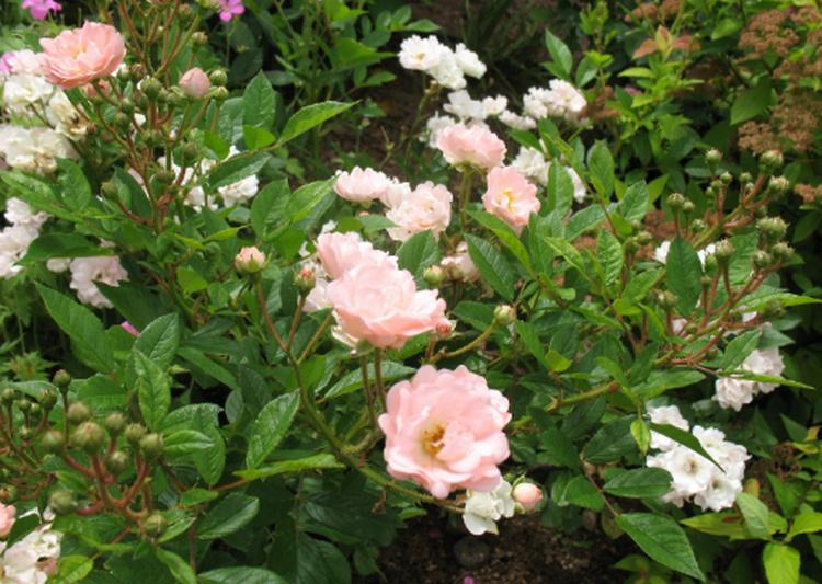 Rosa 'Souvenir d'Adolphe Turc' ! Souven11