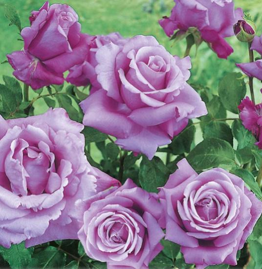 Rosa 'Violet Perfume' ! Violet10