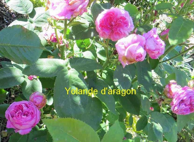 roses en vrac - Page 11 Yoland12