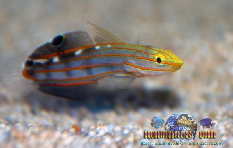 Amblygobius rainfordi Dsc_0110